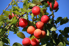 Red plums on tree Stock Photography