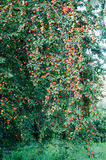 Late summer red plums on tree growing wild. wild plum tree during spring and summer Royalty Free Stock Photo