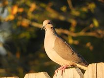 Dove Basking in The Late Summer Sun. While keeping a watchful eye out near the feeder royalty free stock image