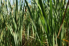 Late Summer Tall grass at the edge of a wetland. Late summer plants growing in a wetland area of Massachusetts Royalty Free Stock Images