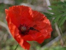 Summer`s last poppy with guest. During a late summer trek, I discovered this little poppy that just had a guest Royalty Free Stock Image