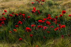 Late summer. Wheat field with papaver flowers. Photography of nature Stock Photo