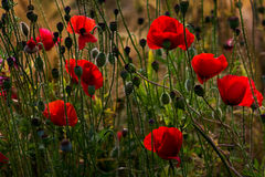 Late summer. Wild field with papaver flowers. Photography of nature Stock Photo