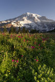 Late Summer Wildflowers Mt. Rainier National Park Skyline Trail Royalty Free Stock Image