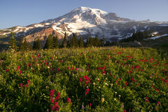 Late Summer Wildflowers Mt. Rainier National Park Skyline Trail Stock Images
