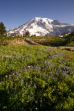 Late Summer Wildflowers Mt. Rainier National Park Skyline Trail Stock Photos