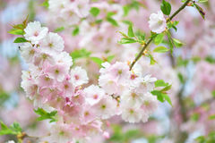 The late varieties of Japanese Sakura that grow in Europe. The late varieties of Japanese Sakura that grow in northern Europe Stock Photography