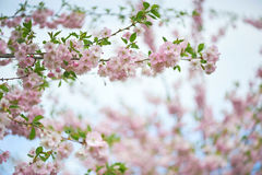 The late varieties of Japanese Sakura that grow in Europe. The late varieties of Japanese Sakura that grow in northern Europe Stock Images