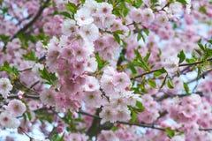 The late varieties of Japanese Sakura that grow in Europe. The late varieties of Japanese Sakura that grow in northern Europe Stock Image