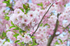 The late varieties of Japanese Sakura that grow in Europe. The late varieties of Japanese Sakura that grow in northern Europe Stock Photo