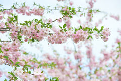 The late varieties of Japanese Sakura that grow in Europe. The late varieties of Japanese Sakura that grow in northern Europe Royalty Free Stock Images