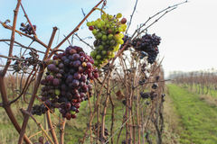 Of late wine in the vineyard. Bunches of late wine in the vineyard Stock Photos