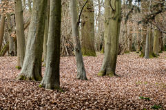 Late winter woodland Royalty Free Stock Photography