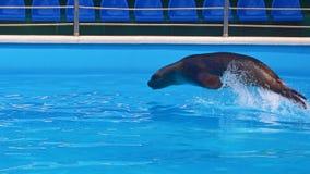 Lateinischer Name - Callorhinus ursinus Lizenzfreies Stockfoto