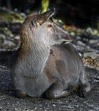 Lateinischer Name - Cervus elaphus hippelaphus Lizenzfreie Stockfotografie
