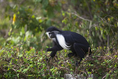 Lateinischer Name - Colobus guereza kikuyyensis Stockfotos