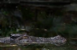 Lateinischer Name - Crocodylus porosus Lizenzfreie Stockbilder