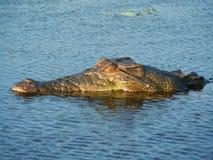 Lateinischer Name - Crocodylus porosus Lizenzfreie Stockfotografie