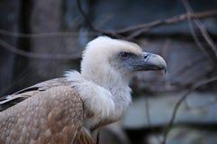 Lateinischer Name - Gypaetus barbatus Stockfoto