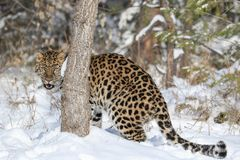 Lateinischer Name - Panthera pardus orientalis Stockfotografie