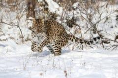 Lateinischer Name - Panthera pardus orientalis Lizenzfreie Stockfotografie