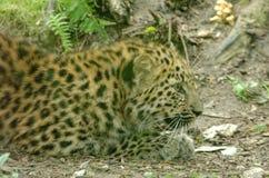 Lateinischer Name - Panthera pardus orientalis Lizenzfreies Stockfoto