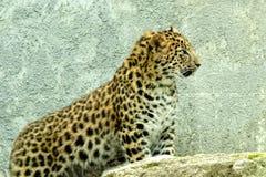 Lateinischer Name - Panthera pardus orientalis Lizenzfreie Stockfotos