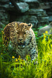 Lateinischer Name - Panthera pardus orientalis Lizenzfreies Stockbild