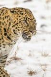 Lateinischer Name - Panthera pardus orientalis Lizenzfreie Stockbilder