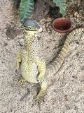 Lateinischer Name - Varanus salvator Stockfoto