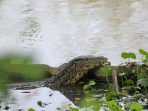 Lateinischer Name - Varanus salvator Stockbild