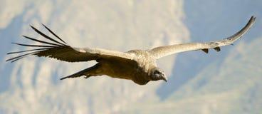 Lateinischer Name - Vultur gryphus Stockfotografie