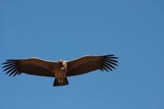 Lateinischer Name - Vultur gryphus Lizenzfreies Stockfoto