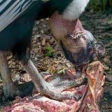 Lateinischer Name - Vultur gryphus Fütterung auf Aas Lizenzfreies Stockbild