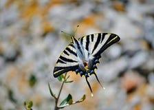 Lateinisches Papilio machaon Machaon Heute wird es eins der sch?nsten Spezies der Schmetterlinge betrachtet, die auf Erde leben lizenzfreie stockfotografie
