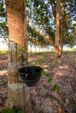 lateksowego gumowe drzewo producenta Fotografia Royalty Free