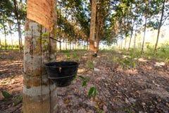 lateksowego gumowe drzewo producenta Fotografia Stock