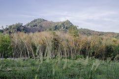 lateksowego gumowe drzewo producenta Zdjęcia Stock