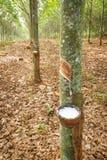 lateksowego gumowe drzewo producenta Obrazy Stock