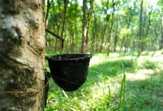 lateksowego gumowe drzewo producenta Zdjęcie Stock