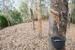 lateksowego gumowe drzewo producenta obraz stock