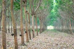 lateksowego gumowe drzewo producenta Zdjęcia Royalty Free