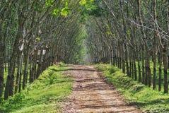 Lateksowy drzewo Zdjęcia Royalty Free