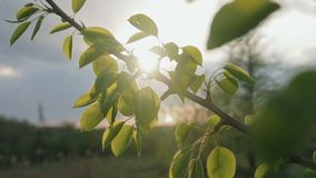 Later in the evening the sun passes through the branch of an apple tree with leaves. Close up stock video footage