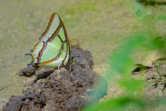 Nymphalidae butterfly Stock Images