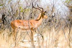 Lateral del impala en Etosha Foto de archivo