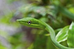 Head of Green Vinesnake with left eye. Lateral head and trunk left side view of a Green Vinesnake [Oxybelis fulgidus]. Background green blurred royalty free stock photography