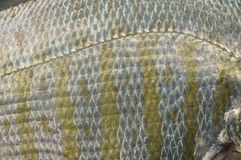 Lateral line. Closeup of lateral line of barred surf perch Royalty Free Stock Image