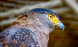 Lateral view of Brown eagle with yellow eyes. Lateral view of Brown eagle yellow eyes with white spot on the wings, in a zoo,Thailand stock image