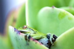Lateral view of a green frog on a leaf. Macro photography of a a little green frog resting over a succulent plan leaf, almost blending in. Captured at the Andean stock image